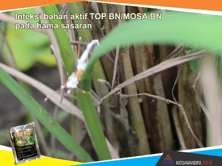 infeksi bahan aktif beuveria bassiana dan noumeria rileyi - TOP-BN-MOSA BN - pada walang sangit - mosamandiri01