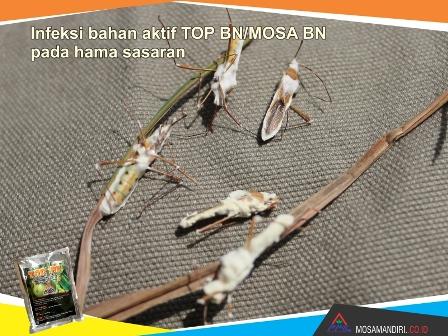 infeksi bahan aktif beuveria bassiana dan noumeria rileyi - TOP-BN-MOSA BN - pada walang sangit - mosamandiri02
