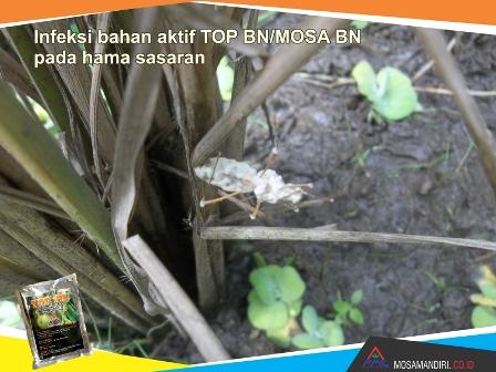 infeksi bahan aktif beuveria bassiana dan noumeria rileyi - TOP-BN-MOSA BN - pada walang sangit - mosamandiri03
