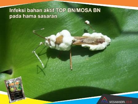 infeksi bahan aktif beuveria bassiana dan noumeria rileyi - TOP-BN-MOSA BN - pada walang sangit - mosamandiri05