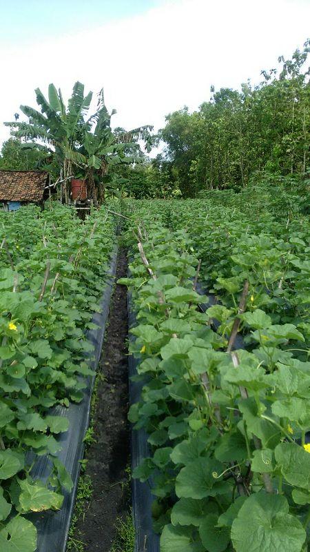 Melon - Ngawi -umur 35 Hari dengan produk MMC-daun serempak lebar serta mulus