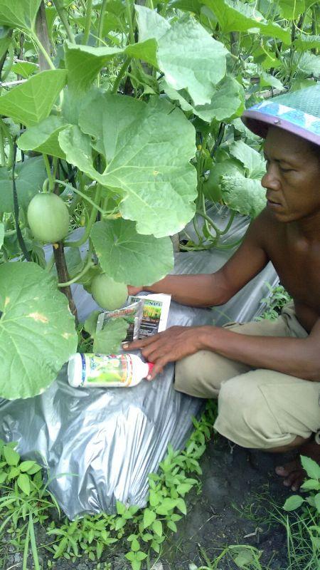 Melon - Ngawi -umur 35 Hari dengan produk MMC-dengan penjaga kebun serta produk MMC Agritech BIO-SPF serta mosa glio-3
