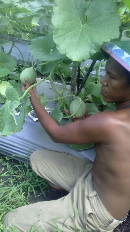 Melon - Ngawi -umur 35 Hari dengan produk MMC-menunjukan pertumbuhan buah yang bagus