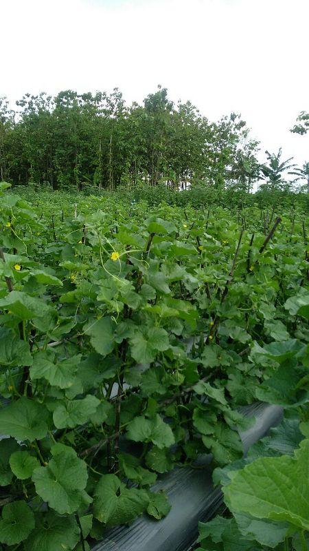 Melon - Ngawi -umur 35 Hari dengan produk MMC-pertumbuhan yang sangat bagus