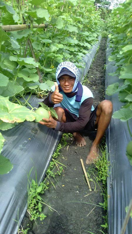 Melon - Ngawi -umur 35 Hari dengan produk MMC-sudah mulai belajar buah