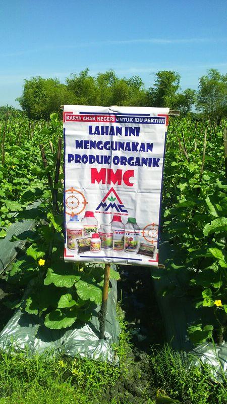 Melon semi organik dengan produk MMC- umur 35 H -2