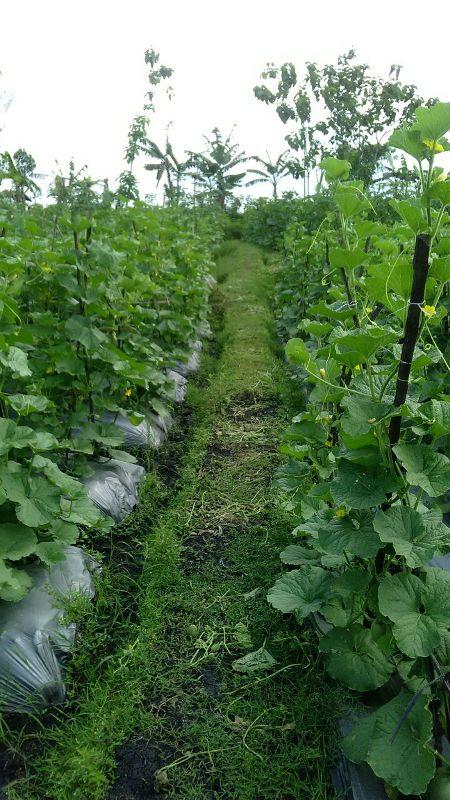 Melon semi organik dengan produk MMC- umur 35 H