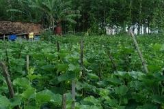 Melon - Ngawi -umur 35 Hari dengan produk MMC-daun serempak lebar serta mulus -2