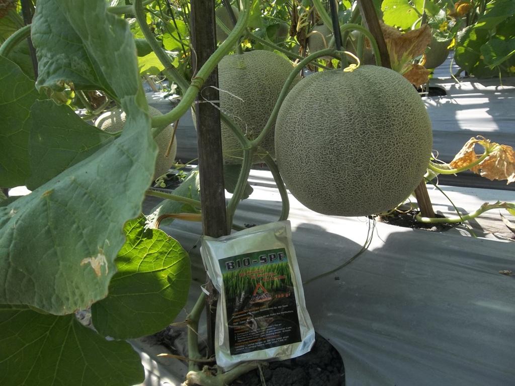 100_1296-Agens-hayati-BIO-SPF-untuk-melon