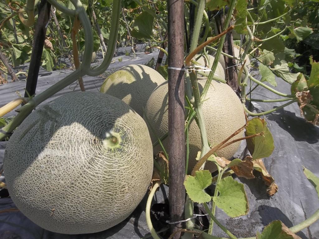 100_1336-Panen-melon-dengan-produk-MMC