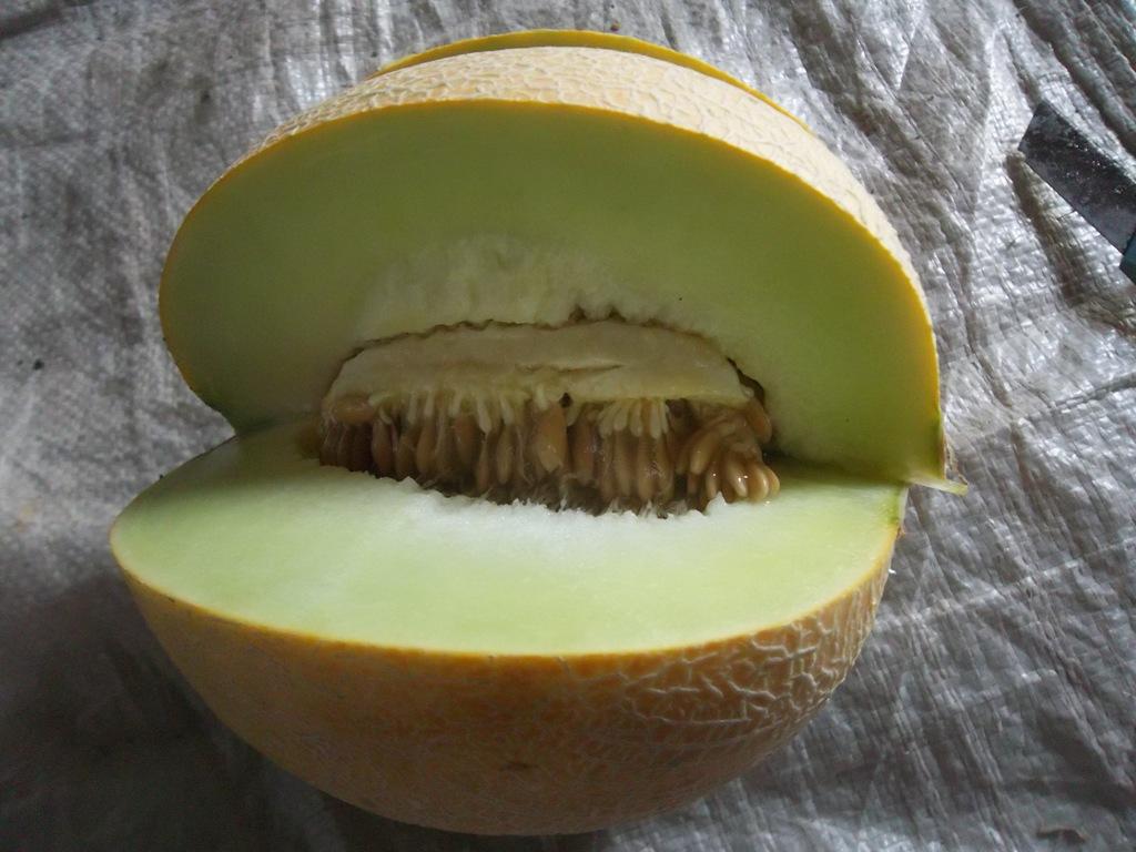 100_1366-hasil-melon-dengan-pupuk-organik