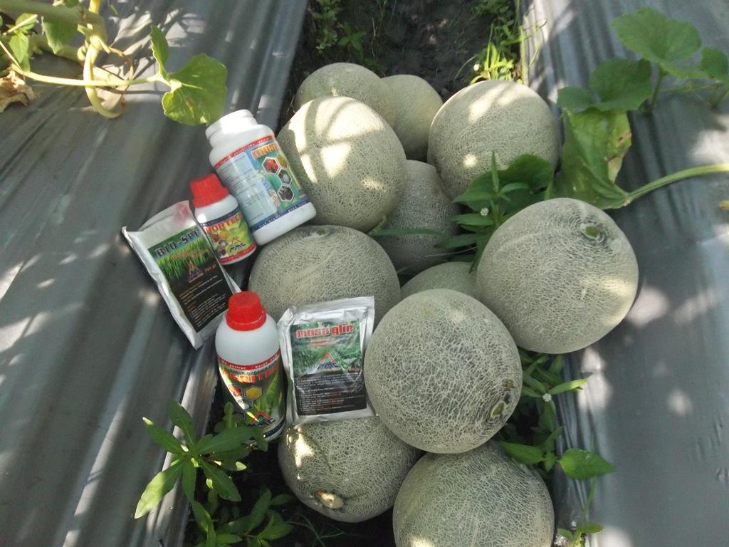 Melon-dengan-paket-produk-mmc-lengkap-untuk-budidaya-melon