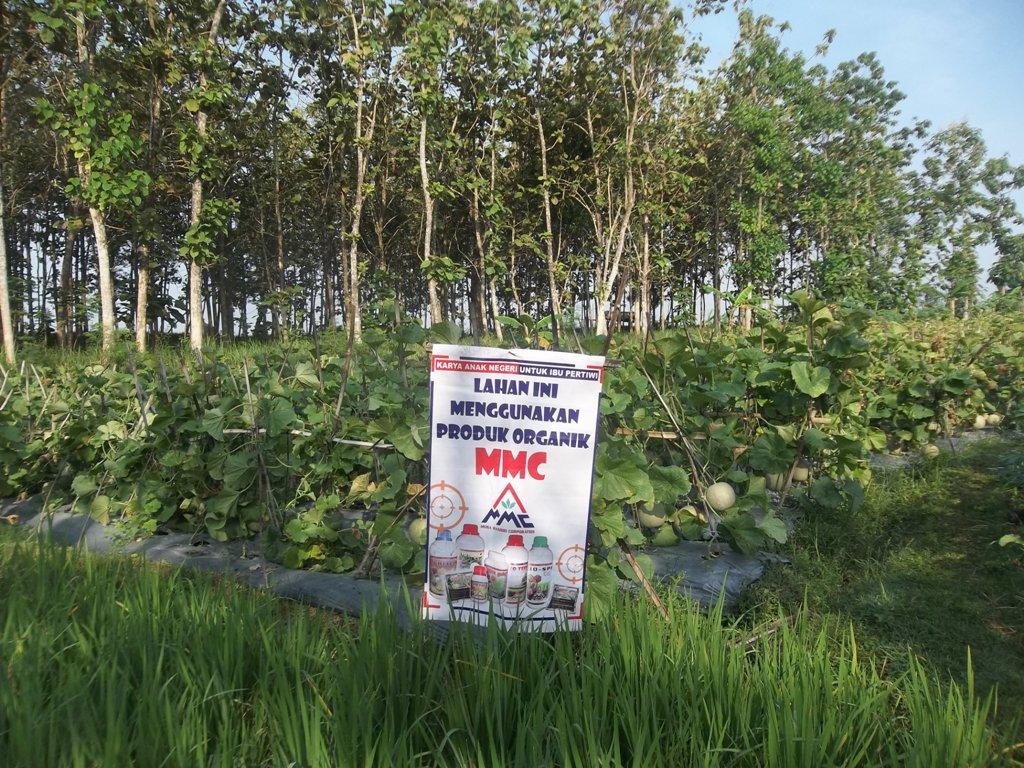 lahan-melon-dengan-produk-organik-mmc