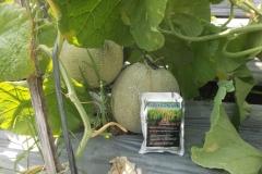 100_1287-Hasil-Melon-dengan-agens-hayati-BIO-SPF