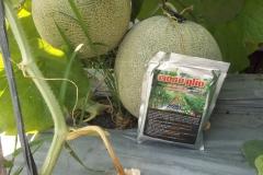 100_1290-Hasil-Melon-dengan-agens-hayati-MOSA-GLIO
