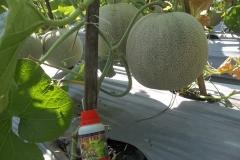 100_1300-Panen-Melon-dengan-HORTECH