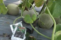 100_1398-Agens-hayati-MOSA-GLIO-untuk-pengendalian-layu-pada-tanaman-melon-tanaman-jadi-sehat-terbebas-penyakit-jamur-fusarium-penyebab-layu