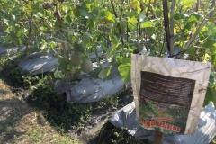 100_1401Agens-hayati-MOSA-GLIO-untuk-pengendalian-layu-pada-tanaman-melon-tanaman-jadi-sehat-terbebas-penyakit-jamur-fusarium-penyebab-layu