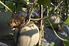 IMG_20180502_150218-Panen-melon-dengan-produk-MMC