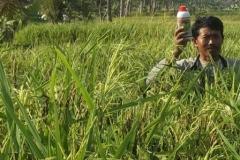 agritech pada budidaya padi hitam organik