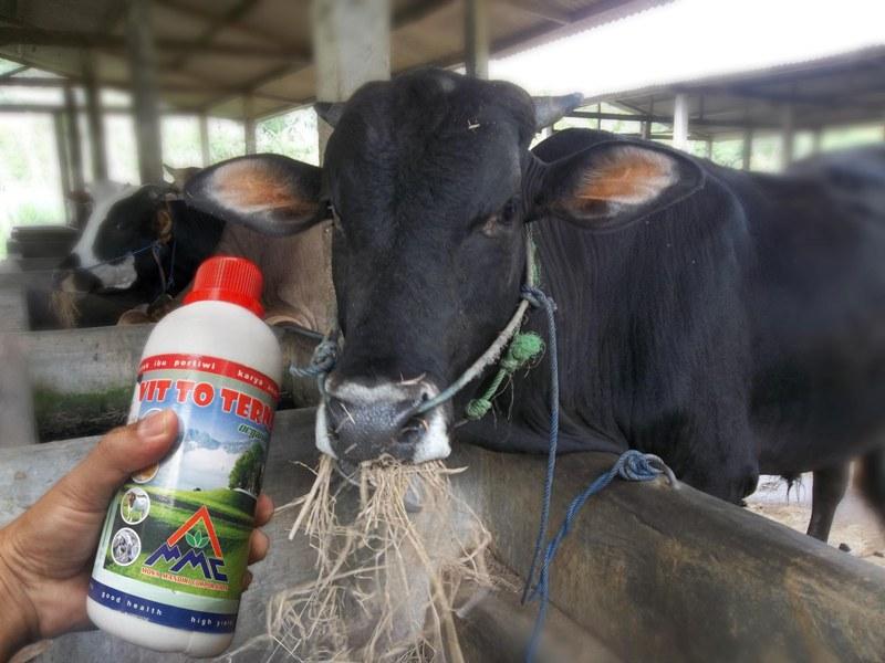 vitto untuk penggemukan sapi