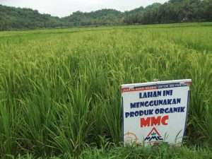 budidaya padi dengan produk organik mmc
