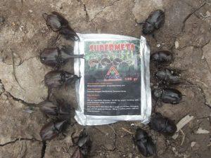 Mosa Meta dapat mengendalian kumbang tanduk, dengan cari menginfeksi dan mematikan larva kumbang tanduk.