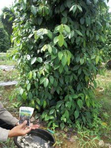 bio-spf untuk tanaman lada