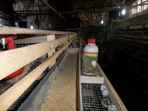 vitto terna-g untuk ternak puyuh petelur