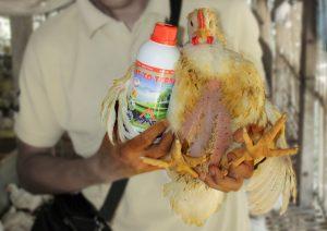 vittoterna untuk budidaya ayam broiler