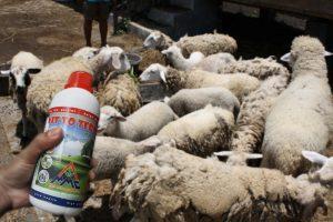 vittoterna untuk ternak penggemukan kambing atau domba