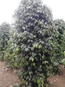 lada petani lingga kepri, dengan produk mmc