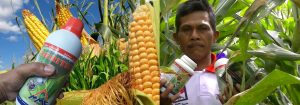 agritech untuk budidaya jagung dan petani jagung-pak oding