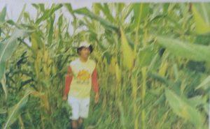jagung hibrida dengan perendaman bio-spf bebas dari penyakit bulai