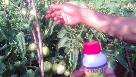 mitra saksi ujang sanggau - petani tomat