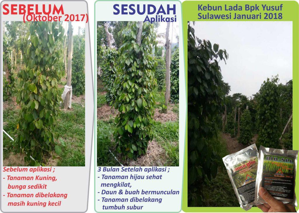 Penggunaan BIO-SPF & MOSA GLIO, agens hayati yang terbukti mampu menyehatkan dan menyuburkan tanaman lada yang sakit