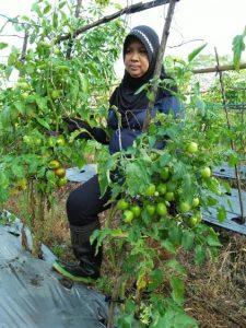 tomat lahan pak budi petani mitra mmc muntilan setelah 2 tahun penggunaan supermeta lahan masih bebas uret