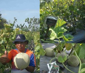 budidaya melon ngawi kinkin warsito dengan produk organik mmc