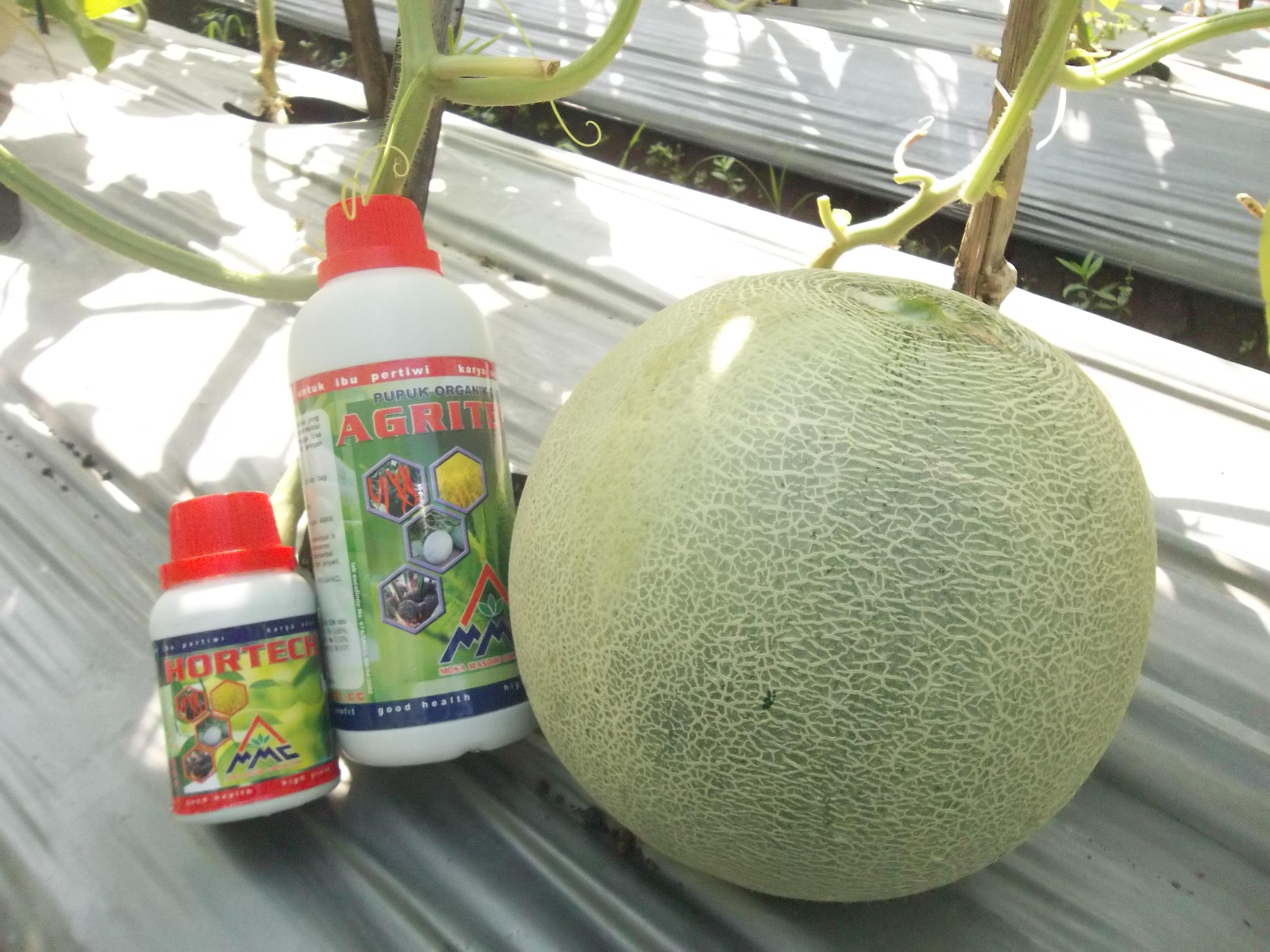100_1273 agritech dan hortech untuk melon