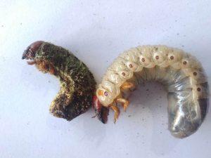 Foto Diatas adalah Dua Uret -Larva kumbang tanduk- dengan umur dan spesies yang sama- sebelah kiri yang terinfeksi metharizium dalam kurun 1 bulan kanan yang sehat
